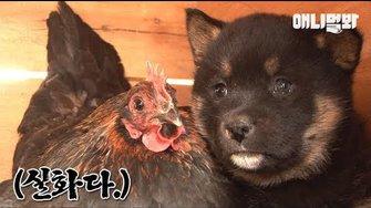 모자 사이라는데 닮은 거라곤 털 색깔뿐인 거 실화냐 l Puppies' Mom Is A Chicken?!